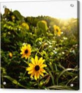 Daisies Tangled Sunrise Delray Beach Florida Acrylic Print