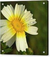 Daisy #5 Acrylic Print
