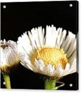 Daisy 6 Acrylic Print