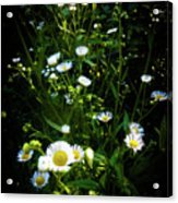 Daisy And Friends Acrylic Print