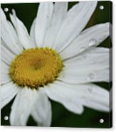 Daisy And Raindrops Acrylic Print