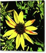 Daisy Bell Acrylic Print