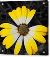 Daisy Crown Acrylic Print