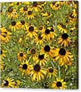 Daisy Daisy Acrylic Print