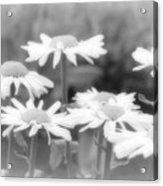 Daisy Daze Acrylic Print