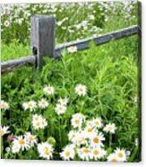 Daisy Fence Acrylic Print