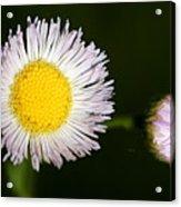 Daisy Fleabane 2 Acrylic Print