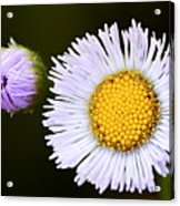 Daisy Fleabane 3 Acrylic Print