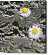 Daisy Fleabane Flowers Acrylic Print