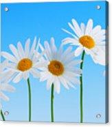 Daisy Flowers On Blue Acrylic Print