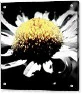Daisy Gray Acrylic Print