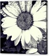 Daisy In Black And White  Acrylic Print