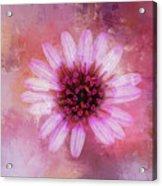 Daisy In Magenta Acrylic Print