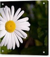 Daisy In The Sun Acrylic Print