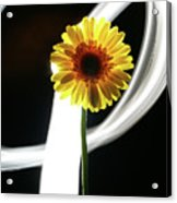 Daisy In White Acrylic Print