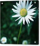 Daisy Acrylic Print