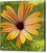 Daisy Smiles Acrylic Print