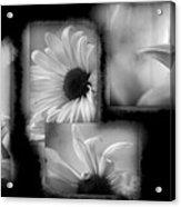 Daisy Study Acrylic Print
