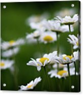 Daisy Summer Sunshine Acrylic Print