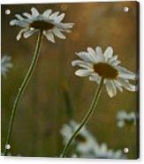 Daisy Sunset Acrylic Print