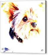 Daisy The Yorkie Acrylic Print