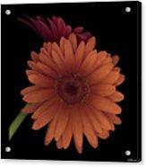 Daisy Tilt Acrylic Print