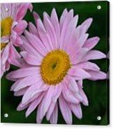 Daisy Twins Acrylic Print