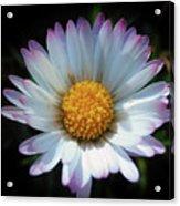 Daisy Under Sun Acrylic Print