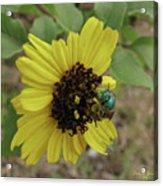 Daisy With Blue Bee Acrylic Print