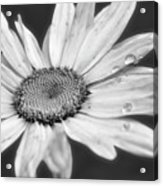 Daisy With Raindrops In Black And White Acrylic Print