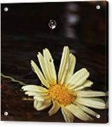 Daisy With Water Droplet Acrylic Print