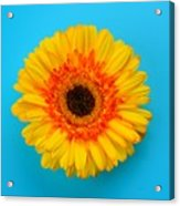 Daisy - Yellow - Orange On Light Blue Acrylic Print