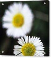 Daisys Acrylic Print