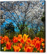 Dallas Arboretum Tulips And Cherries Acrylic Print