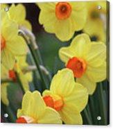Dallas Daffodils 01 Acrylic Print