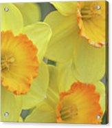 Dallas Daffodils 24 Acrylic Print