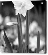 Dallas Daffodils 53 Acrylic Print