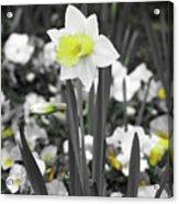 Dallas Daffodils 54 Acrylic Print
