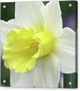Dallas Daffodils 55 Acrylic Print