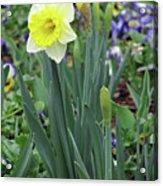 Dallas Daffodils 63 Acrylic Print