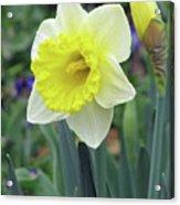 Dallas Daffodils 64 Acrylic Print