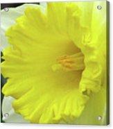 Dallas Daffodils 72 Acrylic Print