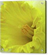 Dallas Daffodils 73 Acrylic Print