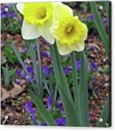 Dallas Daffodils 78 Acrylic Print