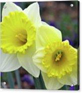 Dallas Daffodils 79 Acrylic Print