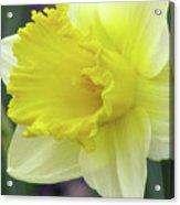 Dallas Daffodils 80 Acrylic Print