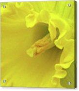 Dallas Daffodils 91 Acrylic Print