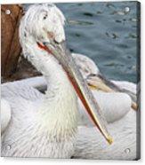 Dalmatian Pelican #3 Acrylic Print