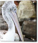 Dalmatian Pelican Acrylic Print