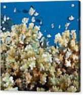 Damselfish Among Coral Acrylic Print by Dave Fleetham - Printscapes